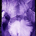 Purple Iris by Jim And Emily Bush