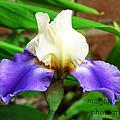 purple Iris by Marjorie  Smith