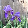 Purple Iris by Peggy Wilburn