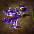 Purple Iris With Background by Endre Balogh