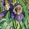 Purple Irises by Mindy Newman