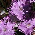 Purple Lace by Bruce Bley