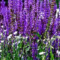 Purple Lavender Flower In Bloom  by Carol F Austin