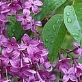Purple Lilac by Laurel Best