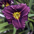 Purple Lilly by Jim Chamberlain