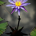 Purple Lotus by Antonio Rosario