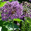 Purple Majesty by Tiffany Ball-Zerges