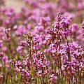 Purple Meadow by Johan Larson