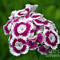 Purple On White Flowers by Kevin Fortier