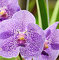 Purple Orchids by John Kiss