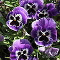 Purple Pansies Square by Carol Groenen