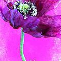 Purple Poppy On Pink by Carol Leigh