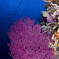 Purple Sea Fan In Raja Ampat, Indonesia by Todd Winner