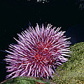Purple Sea Urchin Feeding California by Flip Nicklin