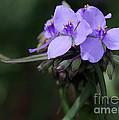 Purple Spiderwort Flowers by Sabrina L Ryan