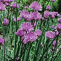 Purple Spikes by Art Dingo