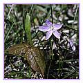 Purple Spring Trail Flower by LeeAnn McLaneGoetz McLaneGoetzStudioLLCcom