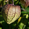 Purple Tomatillo by Susan Herber