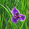 Purple Water Iris by Greg Matchick