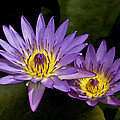 Purple Water Lilies by Leon Roland