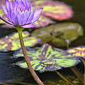 Purple Water Lilly by Lauri Novak