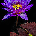 Purple Waterlily by Dave Mills