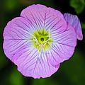 Purple Wildflower by Diego Re
