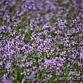 Purple Wildflowers Square by Carol Groenen