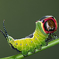 Puss Moth Caterpillar by Ingo Arndt
