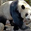 Puttin On The Panda Ritz by Roy Foos