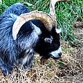 Pygmy Goat by Art Dingo