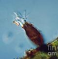 Pyxicola Sp by M. I. Walker