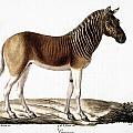 Quagga (equus Quagga) by Granger