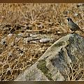 Quail On Rock by Blake Richards