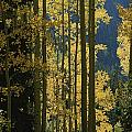 Quaking Aspen Trees Display Brilliant by Marc Moritsch