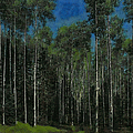 Quaking Aspens by Ernie Echols