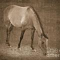 Quarter Horse In Sepia by Betty LaRue