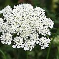 Queen Annes Lace by Donna Walsh