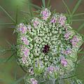 Queen Anne's Lace Flower Partly Open With Dew by Daniel Reed