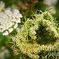 Queen Anne's Lace Going To Seed by Susan Isakson