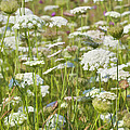 Queen Anne's Lace In All Its Glory by Kathy Clark