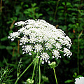Queen Anne's Lace by Ms Judi