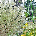 Queen Anne's Lace by Pamela Patch