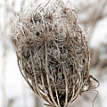 Queen Anne's Lace Seed Pods by Bruce Ritchie