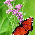 Queen Butterfly And Pink Flowers by Bill Dodsworth