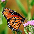 Queen Butterfly by Bill Dodsworth