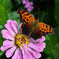Question Mark Butterfly And Zinnia Flower by Eva Kaufman