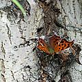 Question Mark Butterfly by Brenda Conrad