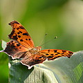 Question Mark Butterfly by JD Grimes