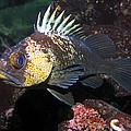 Quillback Rockfish  by Derek Holzapfel